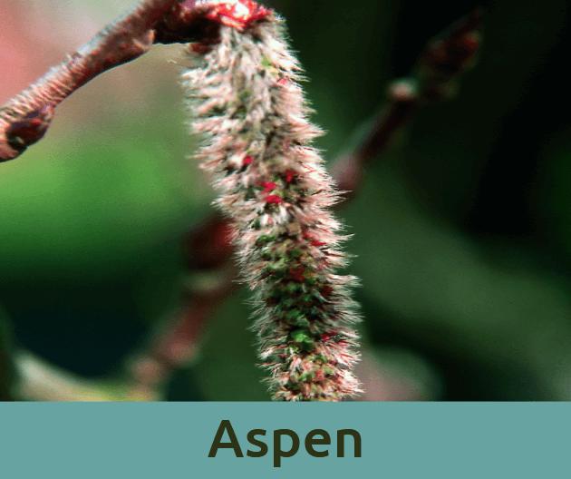 Aspen για τον ακαθοριστο φοβο ανθοϊαμα Μπαχ Bach Institute Hellas