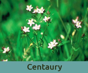 Centaury για τα ορια ανθοϊαμα Μπαχ Bach Institute Hellas