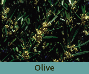 Olive για την κουραση ανθοϊαμα Μπαχ Bach Institute Hellas