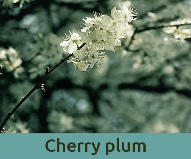 Cherry plum για την υστερια ανθοϊαμα Μπαχ Bach Institute Hellas