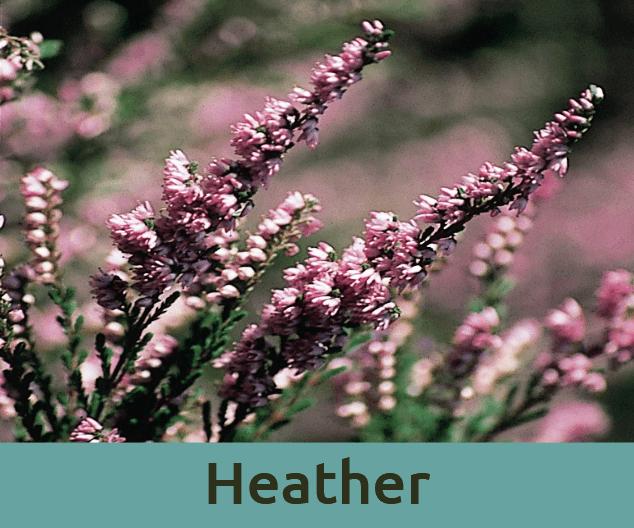 Heather για την περιαυτολογια ανθοϊαμα Μπαχ Bach Institute Hellas