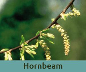 Hornbeam για την τεμπελια ανθοϊαμα Μπαχ Bach Institute Hellas