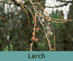 Larch για την αυτοπεποιθηση ανθοϊαμα Μπαχ Bach Institute Hellas