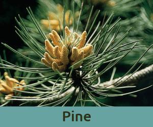 Pine για τις ενοχες ανθοϊαμα Μπαχ Bach Institute Hellas