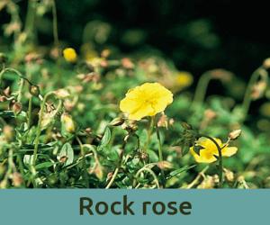 Rock rose για τον τρομο ανθοϊαμα Μπαχ Bach Institute Hellas