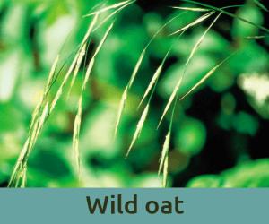Wild oat για την κατευθυνση ζωης ανθοϊαμα Μπαχ Bach Institute Hellas