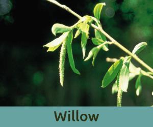 Willow για τη γκρινια ανθοϊαμα Μπαχ Bach Institute Hellas